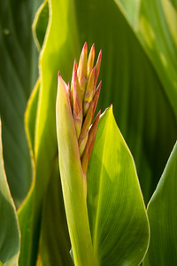 Canna lily emerging