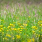 Wildflowers in Turnbull National Wildlife Refuge, Cheney, Washington