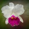 Cattleya orchid (Cattleya lueddemanniana coerulea) at Marie Selby Botanical Gardens, Sarasota, Florida