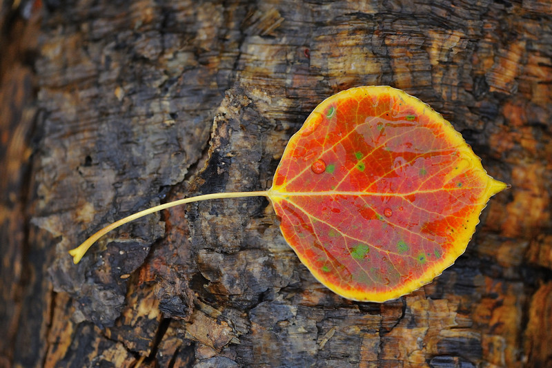 Aspen Leaf on Wet Bark, Grand Teton National Park, Wyoming