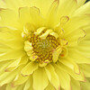 Yellow Dahlia Closeup