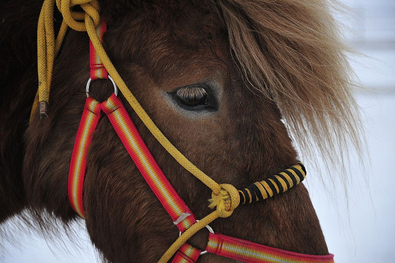 Closeup of Horse near Tromso, Norway