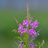 Fireweed at Wylie Slough near Milltown, Washington State