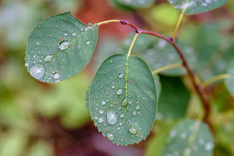 Raindrops on leaves, Glacier National Park, Montana