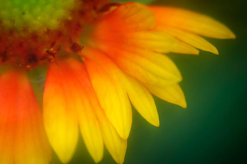 Extreme closeup of Rudbeckia garden flower