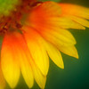 Extreme closeup of Rudbeckia garden flower