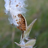 Milkweed in the Adirondacks