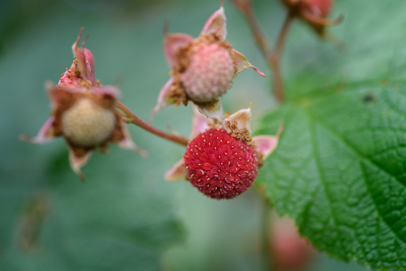Thimbleberry, Glacier National Park, Montana