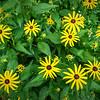 Yellow Wildflowers, Iowa