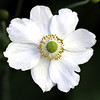 White Globeflower Closeup