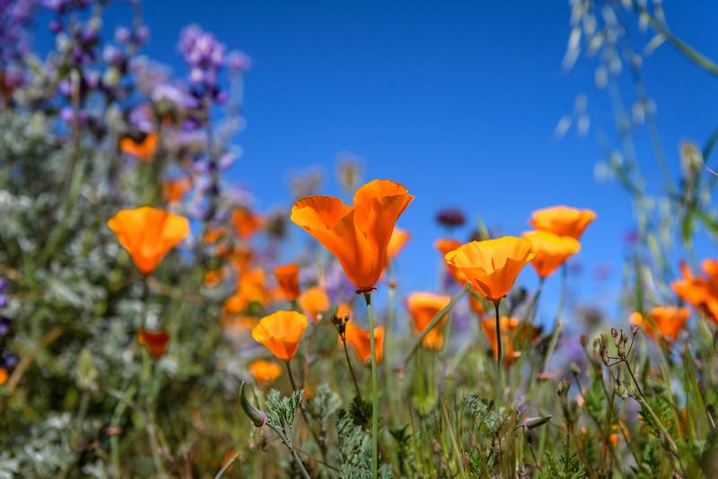 California Poppies near Lancaster, California