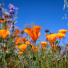 California Poppies near Lancaster, California