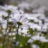 Common daisy (Bellis perennis) on Whidbey Island, Washington State