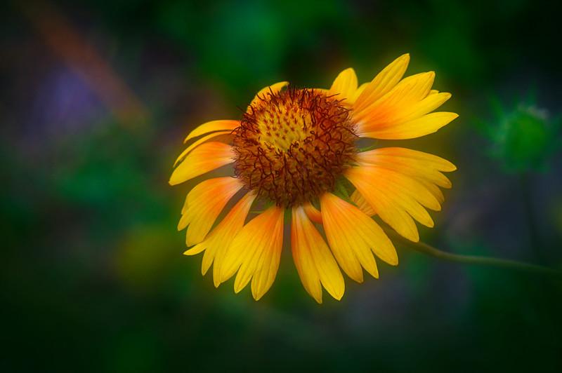 Closeup of Rudbeckia garden flower
