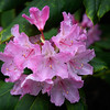 Pink Azalea on the Oregon Coast