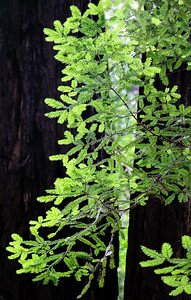 New Growth Redwood