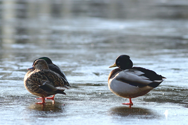 Birds on Ice, December 2006
