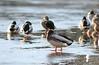 Birds on Ice, December 2006