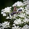 sphex pensylvanicus great black wasp on queen anne's lace