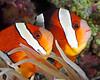 Twins Sulawesi