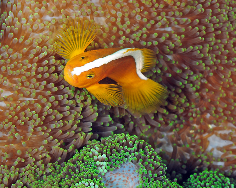 Orange Clownfish, Top