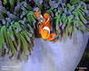 clownfish purple anemone