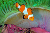 Clownfish Green Purple Anemone