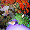 skunk clown purple anemone