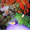skunk clown purple anemone