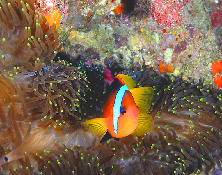 Clownfish with Anemone 2