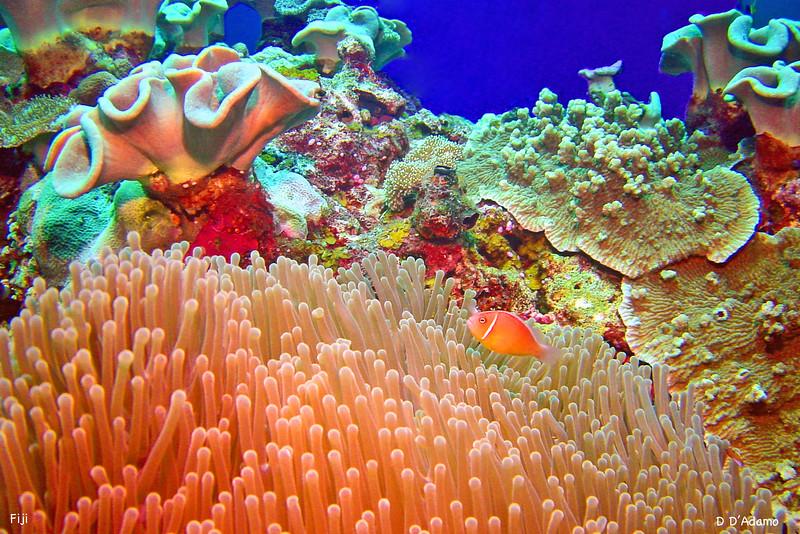 giant anemone Clownfish Fiji Aluminum 12x8