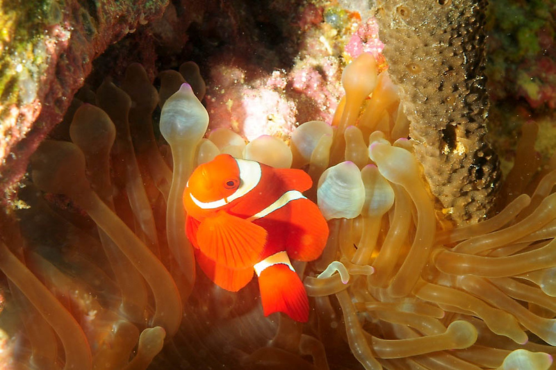 Clown with bulb anemone
