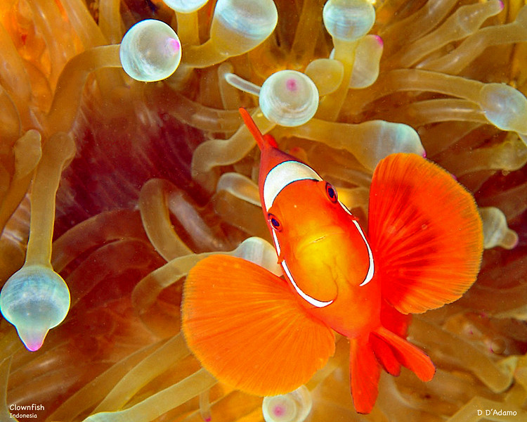 Face Clownfish Indonesia