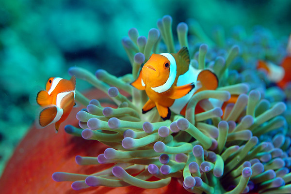 Clownfish on Parade