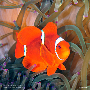 spinecheek Clownfish, sulawesi