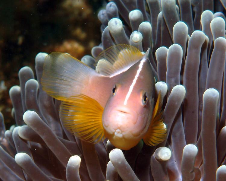 Pink Clownfish