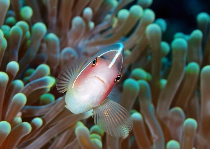 Pink Clownfish, Sulawesi
