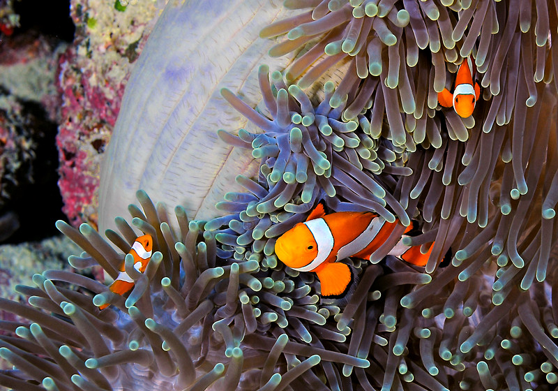Three Clowns Blue Anemone