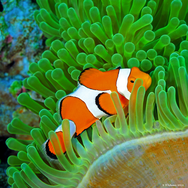 Clownfish in Magnificent Anemone