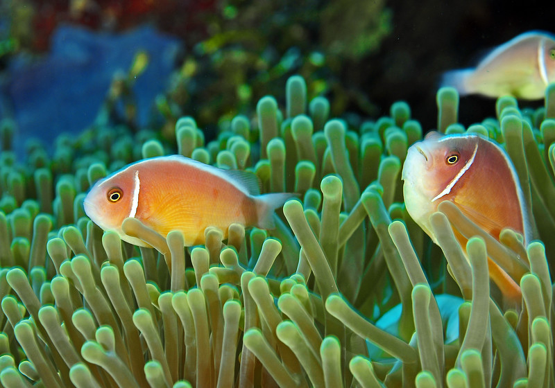 Pink Clownfish, Two