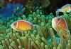 Pink Clownfish, Two
