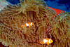 2 Clowns with Anemone