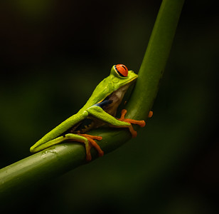 Costa Rican Kermit - Photo by Carroll Williams