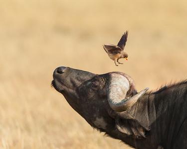 Buffalo and Oxpecker Bird #4