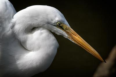 24 Great Egret