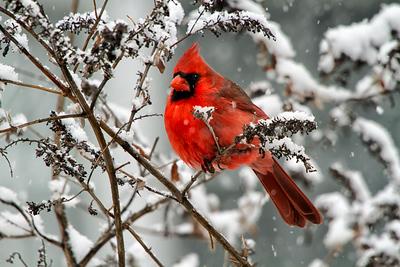 31 Male Cardinal