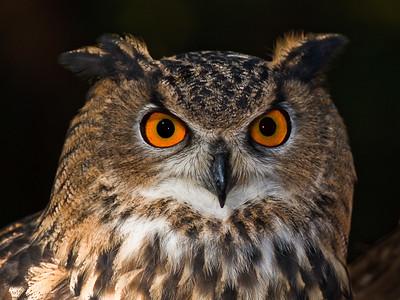 12 Eurasian Eagle Owl