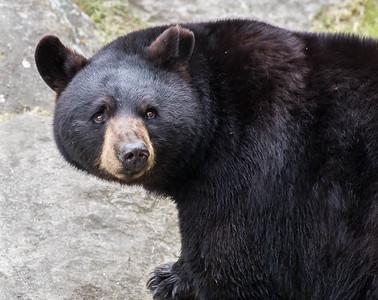 Captive Bear