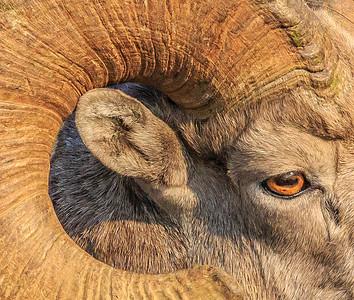 8  Big Horn Sheep