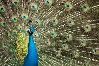 38  Peacock Splendor